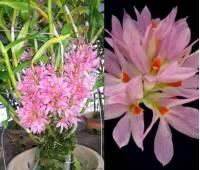 Dendrobium bracteosum var.pink