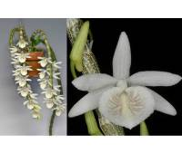 Dendrobium cretaceum