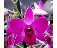 Dendrobium hybrid 001