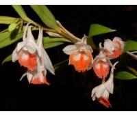 Dendrobium jaintianum