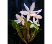 Dendrobium moniliforme pink flower