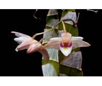 Dendrobium platygastrium