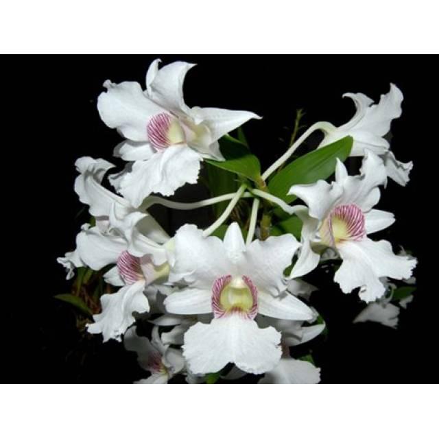 Dendrobium sanderae v.majus