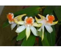 Dendrobium schrautii
