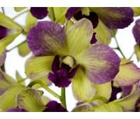 Dendrobium Terra Samba