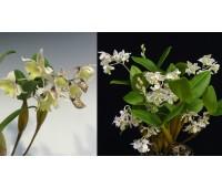Dendrobium atroviolaceum x aberrans