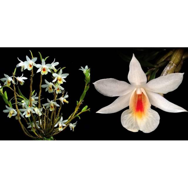 Dendrobium margaritaceum (christyanum)