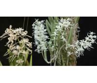 Dendrobium wassellii
