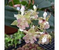 Dendrobium polysema x aberrans