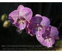 Doritaenopsis Yu Pin Fireworks 'FANGtastic Broad Lip' AM/AOS