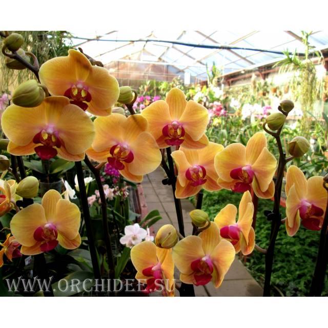 Doritaenopsis DTPS 010 Doritanopsis Sin-Yaun Golden Beauty