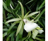 Encyclia mariae x Brassavola nodosa