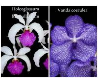 "Holcoglossum kimballianum x Vanda coerulea ""Select"""