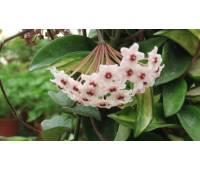 Hoya carnosa alba