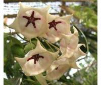 Hoya archoboldiana white