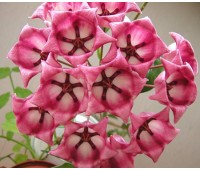 Hoya archoboldiana pink