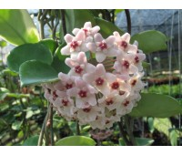 Hoya carnosa Snow Ball