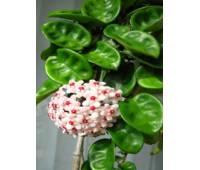 Hoya carnosa cv. Krinkel-8