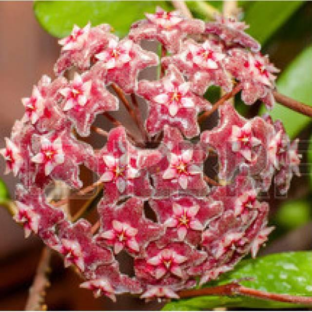 Hoya parasitica red