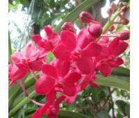 Vanda Magic Red