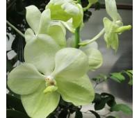 Vanda White