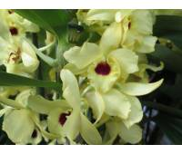 Dendrobium Song Bird