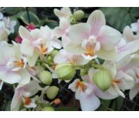 Phalaenopsis PHM 013 Sara