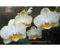Phalaenopsis PHM 006 Taida Smile Little Gold
