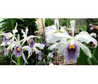 Laelia purpurata var. werkhäuseri x Cattleya warneri var. coerulea
