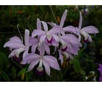 Laelia perrinii (coerulea x semi-alba)