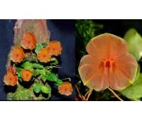 Lepanthes telipogoniflora