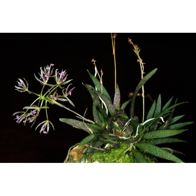 Macroclinium christensonii