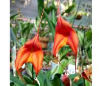 Masdevallia Orange Crush
