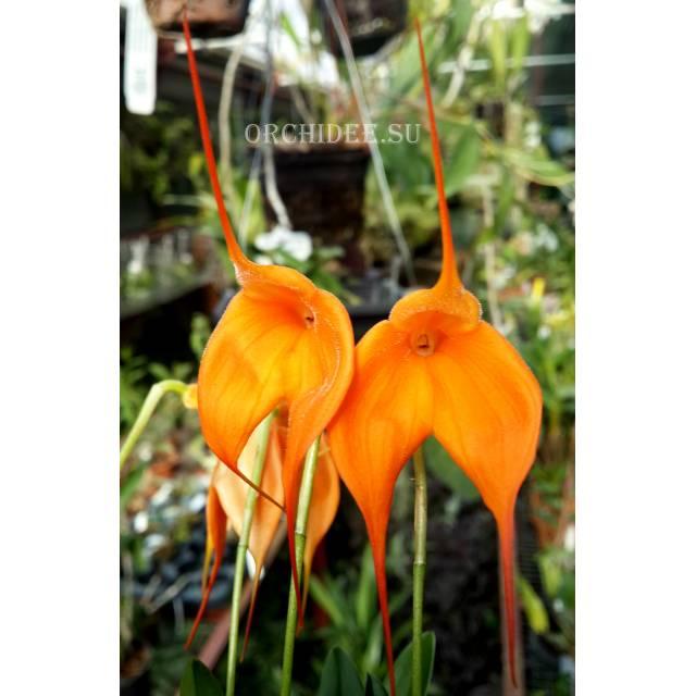 Masdevallia Orange Burst