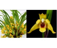 Maxillaria variabilis yellow