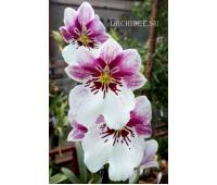 Miltoniopsis Princess Diana Red Baron
