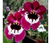 Miltoniopsis Hajime Ono hybrid