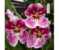 Miltoniopsis hybrid 002