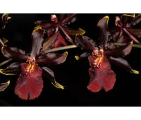 "Odontocidium Wildcat ""Bloodshot"""