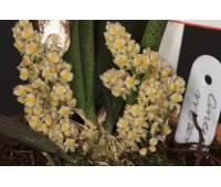 Trichocentrum (oncidium) morenoi