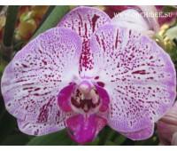 Phalaenopsis PH 013