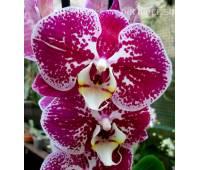 Phalaenopsis PH 001 Compilation