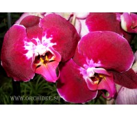 Phalaenopsis PH 010 Anthura Saida
