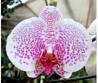 Phalaenopsis PH 015 Spring Sunshine Spot