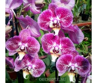 Phalaenopsis PH 017 Composition