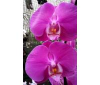 Phalaenopsis PH 023 Anthura Seoul