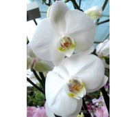 Phalaenopsis PH 047/1 Mathilde