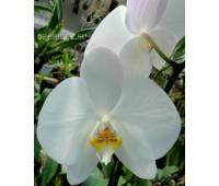 Phalaenopsis PH 047/4 Bijoux Diamand