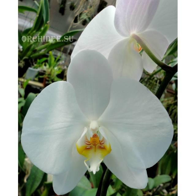 Phalaenopsis PH 047/4 Bijoux Diamand