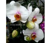 Phalaenopsis PH 097 Hague